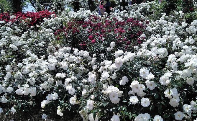鹿屋バラ園の開花状況を確認する3つの方法とばら祭りのゲストは人気俳優!